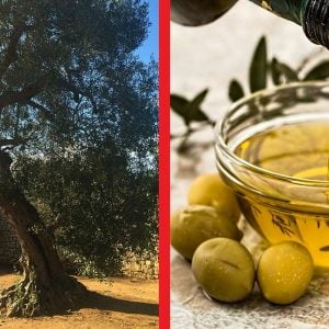 Exploring Ancient Olive Groves Stirred Travel culinary holidays