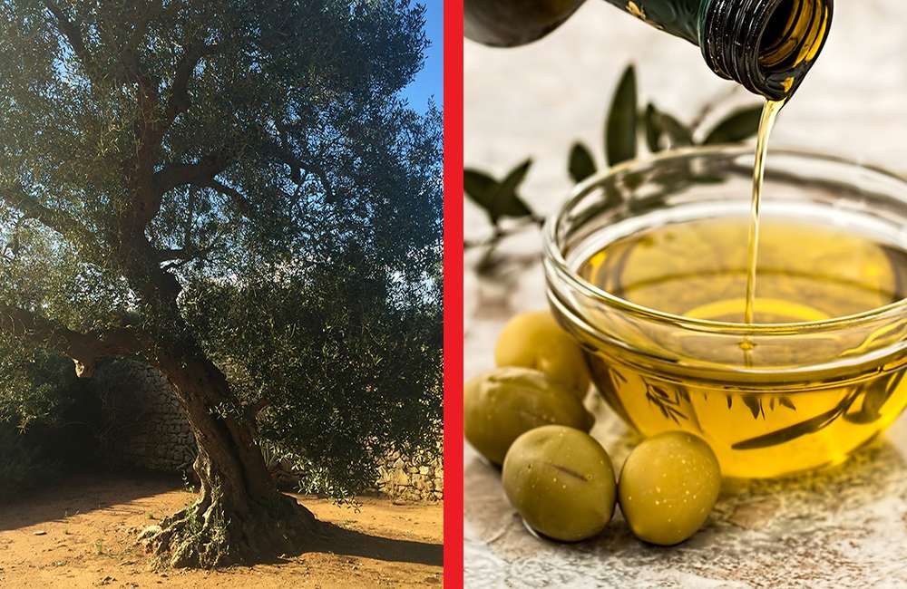 Exploring Ancient Olive Groves